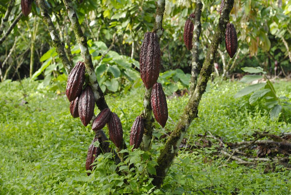 cacao trinitario 1