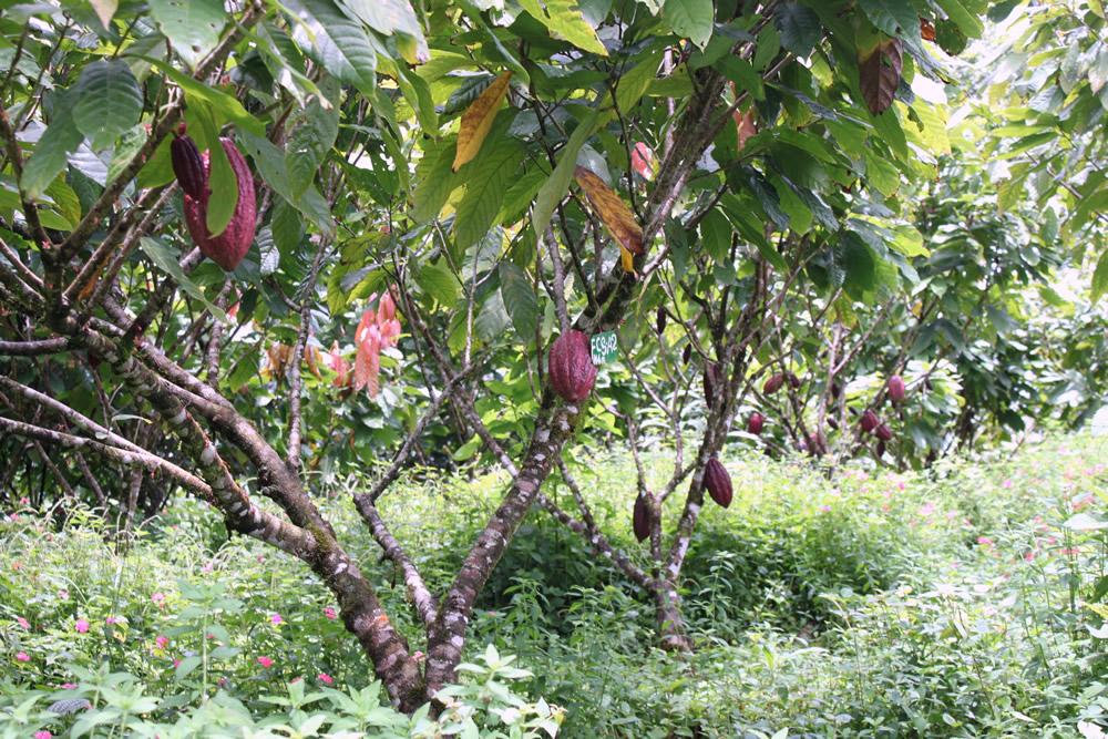 cacao trinitario 11