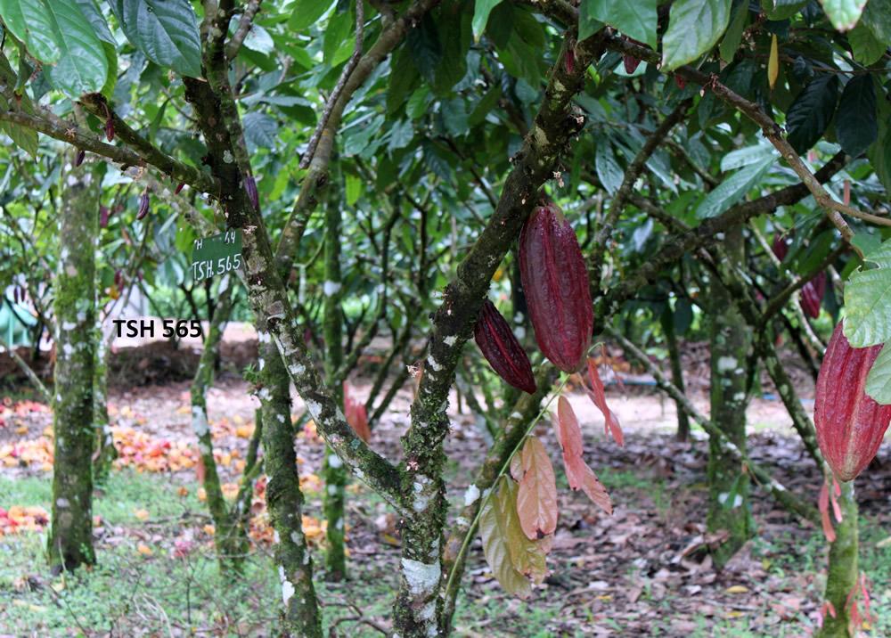 cacao trinitario 17