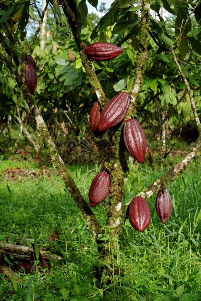 cacao trinitario 2