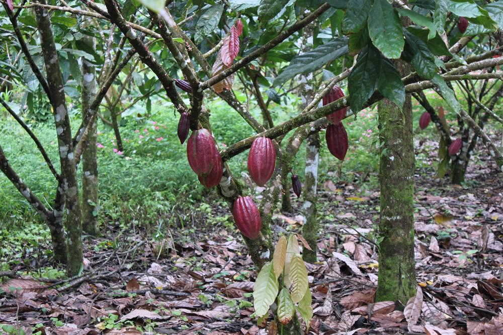cacao trinitario 4