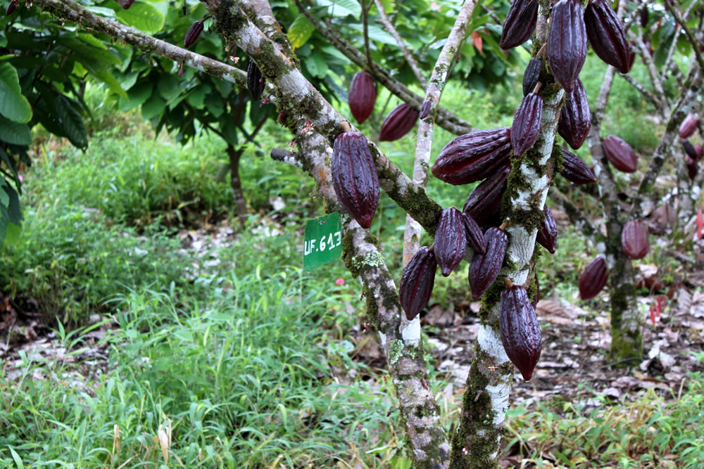 cacao trinitario 5