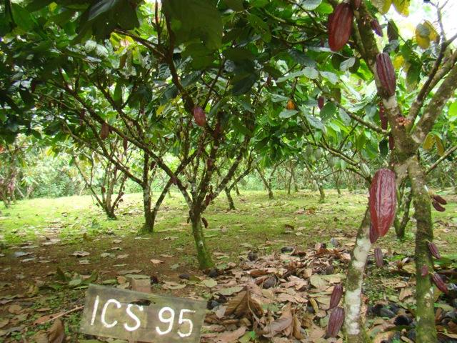 cacao trinitario 6